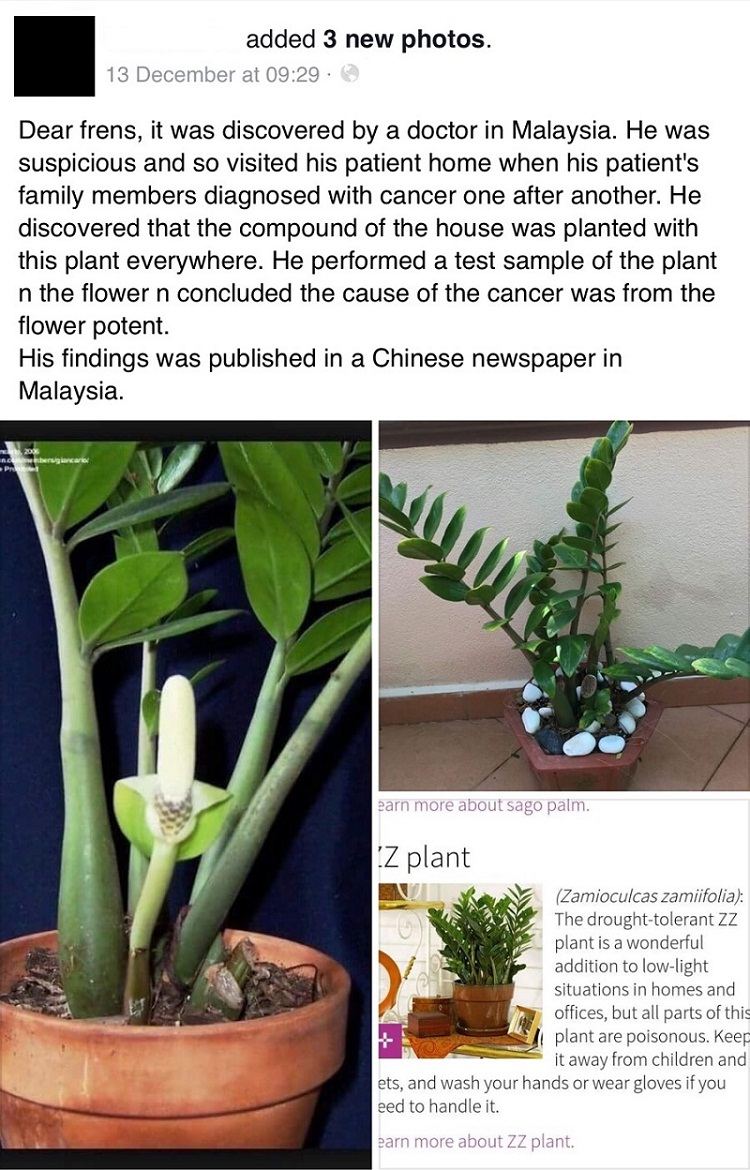 No proof house plant causes cancer, says expert | EdgeProp.my on moshi plant, barbados plant, usambara plant, omam plant, lipstick tree plant, cyprus plant, sesame seed plant, new jersey tea plant, indoor fortune plant, honesty plant, fortune tree plant, cristina plant, bermuda plant, buying coffee bean plant, torch plant, outdoor croton plant, thunder plant, gem plant, brazil plant, ilex plant,