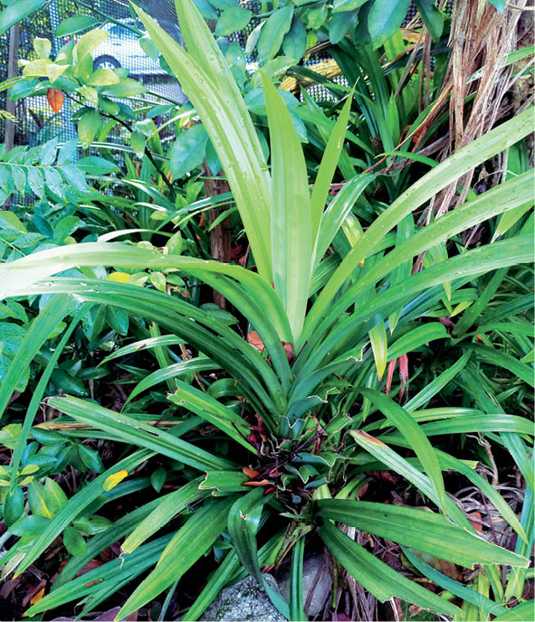 Pandan leaves