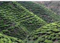 teaplantation.jpg The Edge